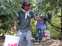 Democrats Tie Amnesty to Labor Giveaway to Agriculture Employers