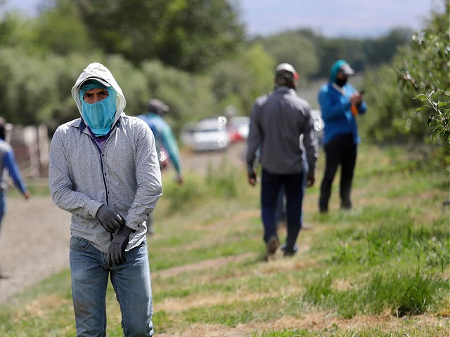 FILE - In this June 16, 2020, file photo, workers at an orchard put on equipment as they prepare to thin apple trees in Yakima, Wash. The agriculture industry is asking Washington state Gov. Jay Inslee to move migrant farmworkers and food factory workers closer to the front of the …