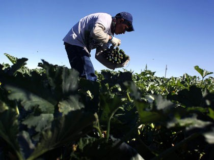 WELLINGTON, CO - SEPTEMBER 03: A migrant farm worker from Mexico harvests organic zucchini while working at the Grant Family Farms on September 3, 2010 in Wellington, Colorado. The farm, the largest organic vegetable farm outside of California, hires some 250 immigrant workers during the peak harvest season. Owner Andy …