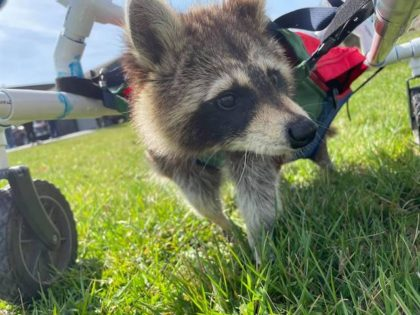 WATCH – High School Students Build Walker for Disabled Raccoon: 'He's Getting Stronger'