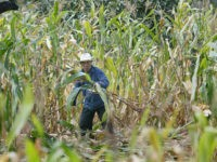 China Increases Food Dependence on U.S. as Corn Prices Soar