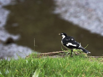Bird magpie lark standing on the grass over a mangrove river ready for take off to hunt for food