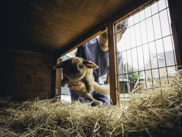 Pet rabbit being put back into its hutch by a teenage boy.