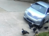 VIDEO: Texas Neighborhood Searches for Alleged Duck-Killer