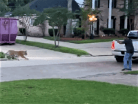 WATCH: Tiger on the Loose in West Houston Neighborhood