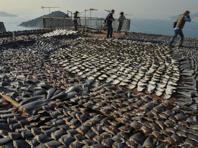 (FILES) In this file picture taken on January 2, 2013 Shark fins drying in the sun cover the roof of a factory building in Hong Kong. Populations of marine mammals, birds, reptiles and fish have dropped by about half in the past four decades, with fish critical to human food …