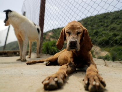 Rescued dogs are pictured at the Woof N'wags shelter on the outskirts of the village of Kfar Chellal, south of the Lebanese capital Beirut on April 30, 2021. - Tens of thousands of Lebanese have lost their jobs or seen their income reduced to a pittance due to Lebanon's worst …