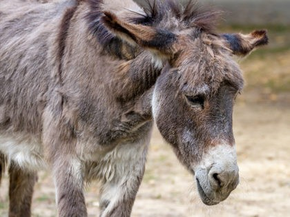 sad-donkey-getty