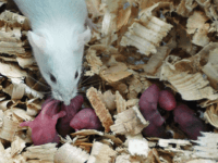 Chinese Scientists Claim to Impregnate Male Rat