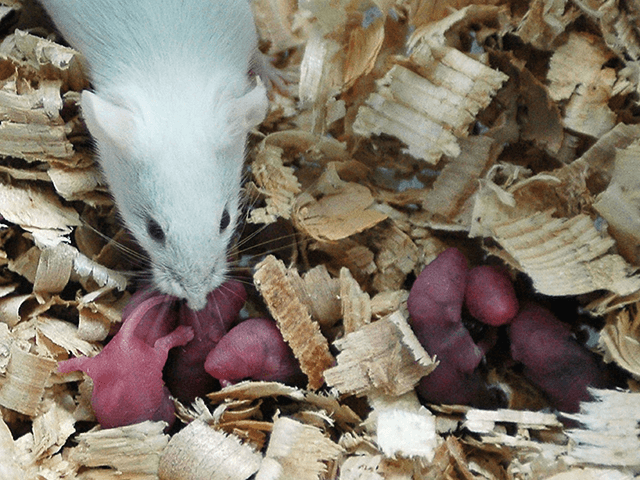 A white rat used for gene therapy research smells its babies just born at the State Key Laboratory of Biotherapy established by the West China Medical School of Sichuan University on August 3, 2005 in Chengdu of Sichuan Province, southwest China. The lab has carried out gene therapy, immunotherapy, cell …