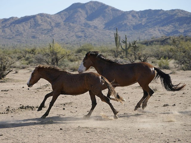 Two Salt River wild horses arrive at a site for emergency feeding run by the Salt River Wild Horse Management Group near Coon Bluff in the Tonto National Forest, near Mesa, Ariz., Wednesday, March 10, 2021. Due to prolonged drought in the area, the horses are fed hay daily. (AP …