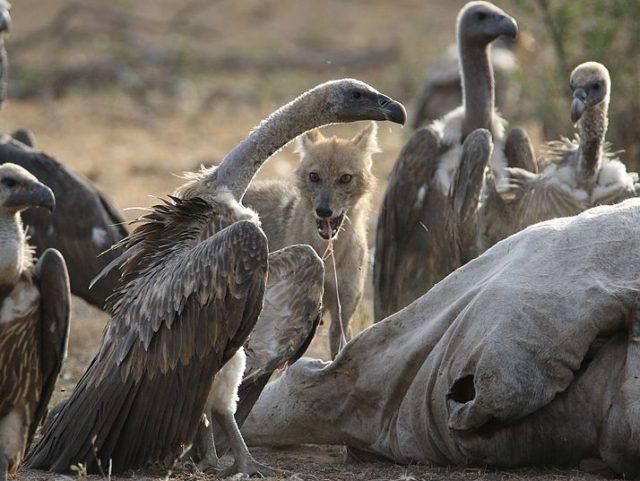 Vulture_and_Jackal_eating_together