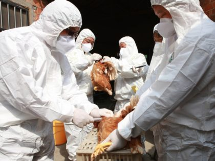 TAIZHOU, CHINA - APRIL 17: (CHINA OUT) Health workers collect blood samples from chickens at a poultry farm on April 17, 2013 in Taizhou, China. China has reported 77 cases of H7N9 avian influenza, including 16 deaths, and the government expect that figure to rise. (Photo by Getty Images)