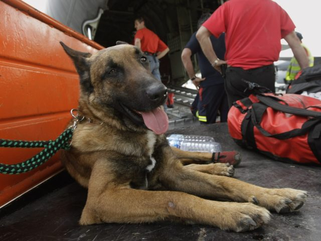 A K9 is rests before a Spanish cargo military plane as police unload equipment upon arrival at the airport of Port-au-Prince in Haiti on January, 19, 2010. The number of people killed in last week's devastating Haitian earthquake has risen to 75,000, while 250,000 were injured and a million left …