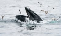 Whale of a Tale: US Fisherman Says Swallowed by Humpback