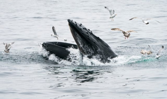 Gulls feed on the sand eels missed by a feeding humpback whale near Gloucester, Massachusetts
