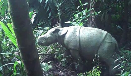 One of the two rare Javan rhino calves caught on camera in Indonesia, which has raised hopes for the future of the species