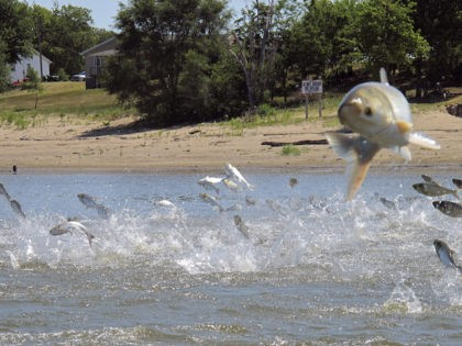 FILE - In this June 13, 2012 file photo, Asian carp, jolted by an electric current from a research boat, jump from the Illinois River near Havana, Ill. The U.S. Army Corps of Engineers is preparing to release a draft report expected out Monday, Aug. 7, 2017, on possible measures …