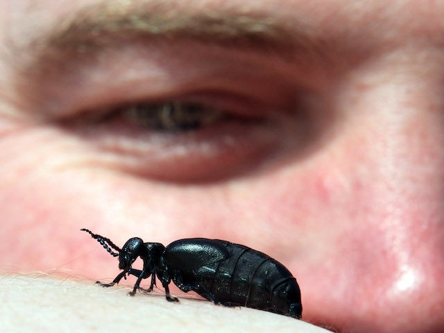 PLYMOUTH, ENGLAND - MARCH 24: Buglife's Vice President Nick Baker looks at a oil beetle as part of the first ever nationwide survey to map the location of the threatened and creatures on March 24, 2011 in near Plymouth, England. Often found on the coast, and particularly in the south …