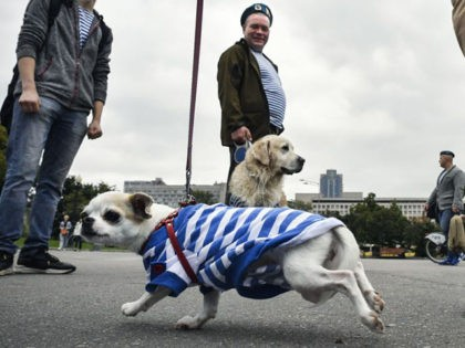 A dog dressed in a Russian airborne stripped vest runs as veterans celebrate the Paratroopers' Day at Gorky park in Moscow on August 2, 2019. (Photo by Alexander NEMENOV / AFP) (Photo credit should read ALEXANDER NEMENOV/AFP via Getty Images)