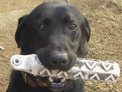 Sport, a 3-year-old black lab from the Cabin Bluff hunting resort in coastal Georgia, poses Thursday, Feb. 17 in Charleston, S.C. The Southeastern Wildlife Exposition opening Friday in Charleston brings tens of thousands of visitors to the city and signals the start of the spring tourist season on the South …