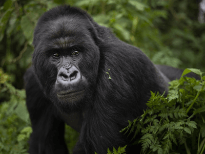 In this Sept. 2, 2019, file photo, a silverback mountain gorilla named Segasira walks in the Volcanoes National Park, Rwanda. These large vegetarian apes are generally peaceful, but as the number of family groups in a region increases, so does the frequency of gorilla family feuds, according to a new …
