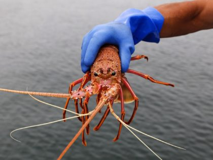 Crustacean Crackdown: Australian Rock Lobsters Declared a 'National Security Threat' in China