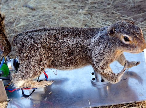 Obama's Uncuttable Spending: $325K to Create 'RoboSquirrel'
