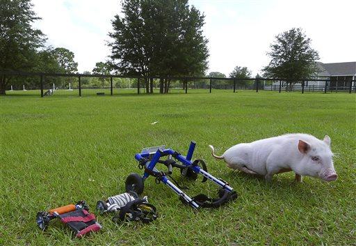 Florida Pig Using Wheelchair Becomes an Inspiration