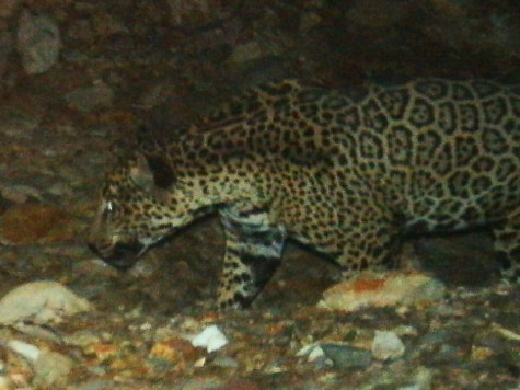 Photos Show Rare Jaguar Roams Southern Arizona Mountains