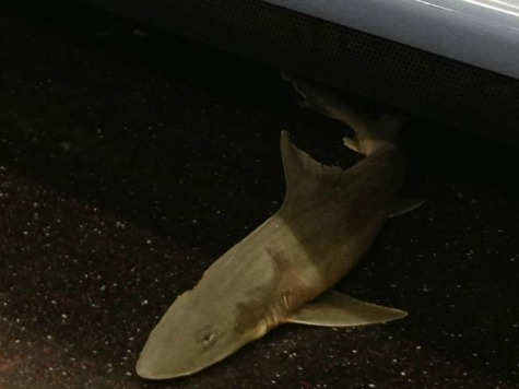 Dead Shark Found in NYC Subway Car