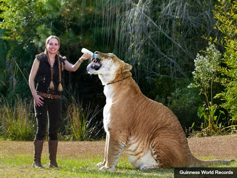 South Carolina Liger Named World's Largest Feline