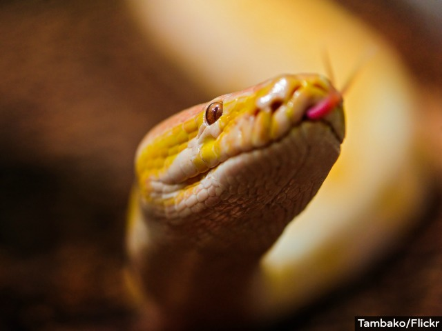 Detroit Man Finds 5-Foot Albino Python, Gives to Pet Store