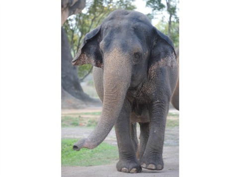 Severely Constipated Elephant Dies at Zoo Miami