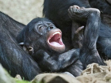 Animal Rights Group Seeks to Classify Chimpanzee as a Legal Person