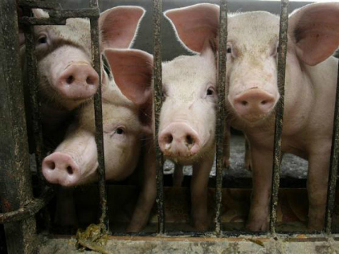 Pig-Killing Virus Likely Spread from China to U.S.
