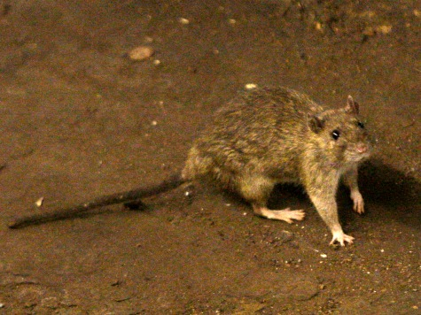 Bubonic Plague Kills 40 in Madagascar