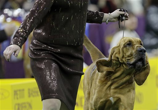 Bloodhound on the Winning Trail at Westminster Dog Show