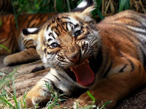 Illinois Man Charged After Bringing Tiger Cub to Bar