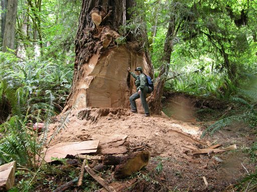 Redwood Park Closes Road to Deter Burl Poachers