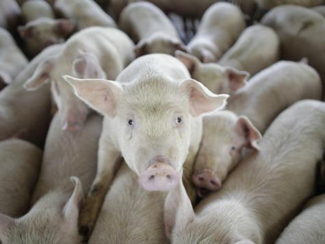 REPORT: Epidemic Diarrhea Virus Killing Millions of U.S. Hogs