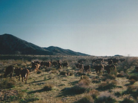 Update: Feds Retreat from Armed Standoff, Returning Cattle to Bundy Ranch