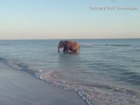 Elephant Seen in the Ocean in Florida