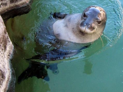Seal Virus Threat to Humans