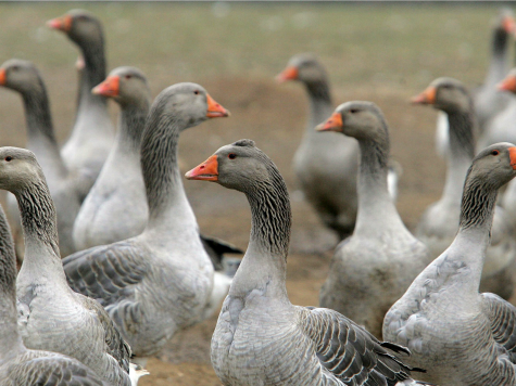 Geese Infestation Poses 'Poo' Problem for Local Californians