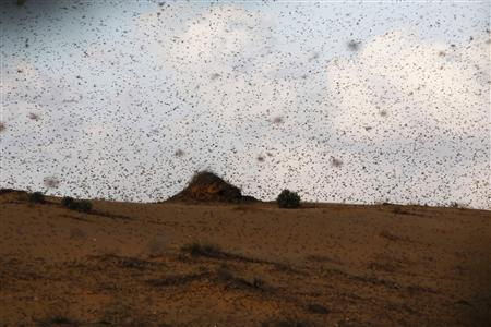 Israel Fights Swarms of Locusts from Egypt