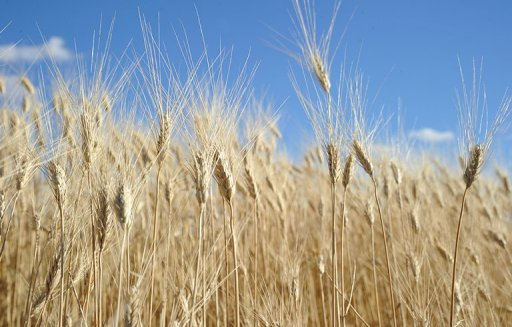 Japan Suspends Import of US Genetically Modified Wheat