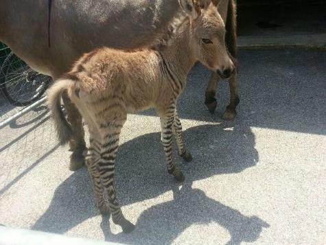 Zebra-Donkey Hybrid Born at Italian Animal Reserve