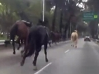Police Horses Stampede on Busy Mexico City Avenue