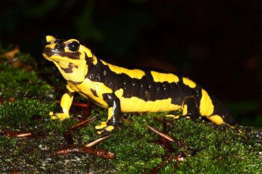 Skin-Eating Fungus Killing Dutch Salamanders